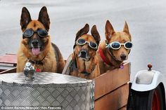 Ms. Mayhead's Hine, Mari & KIri... Ruff ride: The three dogs sported goggles for their trip in the sidecar no Australias Sunshine Coast
