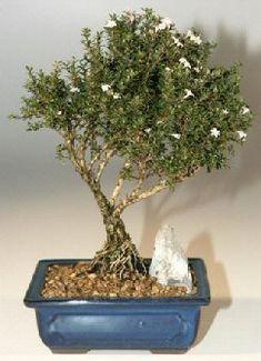 "Kyoto Serissa Bonsai Tree(serissa foetida ""kyoto"")"
