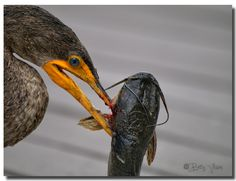 Double-crested Cormorant (Phalacrocorax auritus) Sea Birds