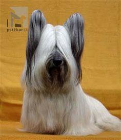 Skye Terrier - SILVERSKY BOHEMIAN ASTERIX| Flanagan