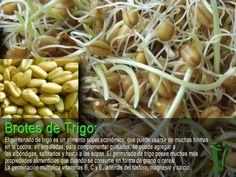 brotes o germinados de trigo