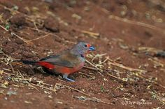 African Firefinch (Lagonosticta rubricata) Male African Firefinch sitting on the floor.