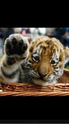 it looks like he wants to ask a question - #baby #tiger #cub