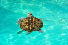 Kemp's Ridley Turtle Status: Endangered - Distribution: Texas to Massachusetts - Primary Prey: Crab