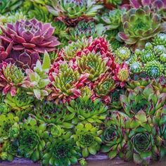 """A colorful collection of hardy, drought-tolerant succulents. These unique, very hardy plants thrive in full sun with almost no maintenance. Rosettes of succulent leaves grow in colors of green, red, purple or blue. They're excellent plants for rock gardens, decorative containers, or as a ground cover. A great choice to add exture and color to vertical gardens. Grows 3-4' tall and 6-8"""" wide. Zones 3-8. Sempervivum mix. Deer tend to avoid."""
