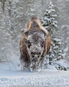 Yellowstone Bison by Ross Konigsburg  Warrior