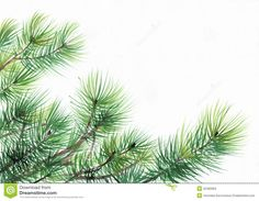 Photo about Pine tree branches isolated on white background. Illustration of tree, color, forest - 32460684 Watercolor Trees, Watercolor Paintings, Watercolours, Birch Tree Decor, Tree Wallpaper Iphone, Oak Tree Wedding, Pine Tree Tattoo, Cool Tree Houses, Tree Illustration