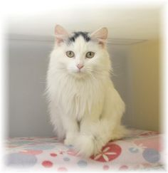 Meet Zuzu, a Petfinder adoptable Domestic Long Hair-white Cat   Spooner, WI   Zuzu is about a year old.  She is very nice and can be quite talkative at times.  She has such a...