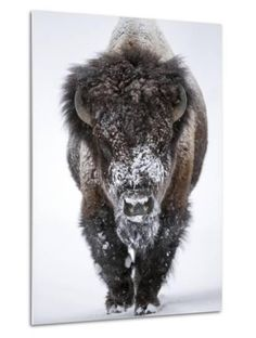 """Wildlife photography wall art - """"Portrait of a snow-dusted American bison"""" from National Geographic by Robbie George available at Great BIG Canvas. Buffalo Animal, Buffalo Art, Majestic Animals, Animals Beautiful, Wildlife Photography, Animal Photography, Photography Portraits, Buffalo Pictures, Bison Pictures"""