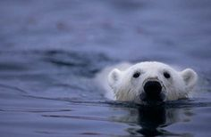 Polar Bear International.  Great website learn about Polar Bears and what you can do to protect them!