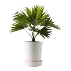 LIVISTONA ROTUNDIFOLIA Pianta da vaso, Livistona rotundifolia - IKEA