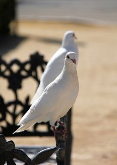 """""""On the wings of a snow white dove, God sends His pure sweet love.""""  A beautiful pair of snow white doves."""