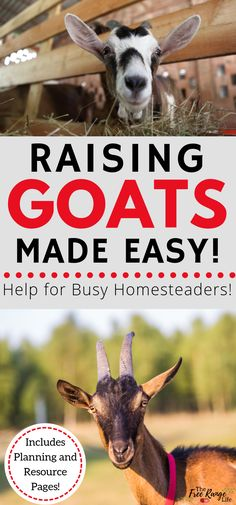 The Busy Homesteader's Goat Management Binder will help you raise goats better. Save time, save money, and have a place to keep every in one spot. Raising Goats Made Easy! Keeping Goats, Raising Goats, Mini Cows, Mini Farm, Small Goat, Happy Goat, Goat Care, Nigerian Dwarf Goats, Goat Farming