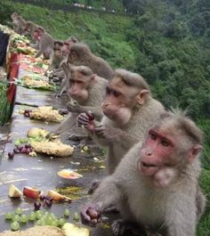 When they say Ram Setu was built by Vaanar-Sena(Monkey Army) ~Hårî Animals And Pets, Funny Animals, Cute Animals, Beautiful Creatures, Animals Beautiful, Cute Animal Pictures, Funny Pictures, Llamas Animal, Onam Festival