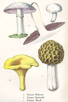 Common Mushroom, Chantarelle and Morell from The Vegetable World