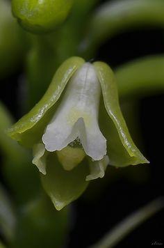 Polystachya concreta - Flickr - Photo Sharing!