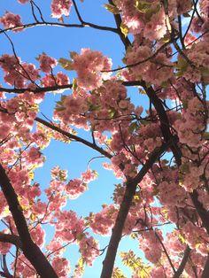 Kirschbäume blühen