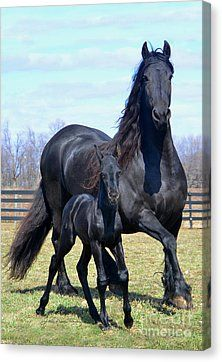 Friesian black horse stallion dressage baroque, mare and foal, gorgeous horse running in their pasture, field, black beauty. Most Beautiful Animals, Beautiful Horses, Beautiful Creatures, Beautiful Beautiful, Beautiful Family, Beautiful Things, Beautiful People, Amazing Things, Wonderful Places