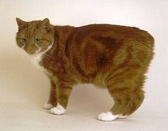 Orange Manx Cat: Manx cat behavior problems and I could use some help. My 2 yr old male Manx cat does something strange each night when I get in the bed.    He wants me
