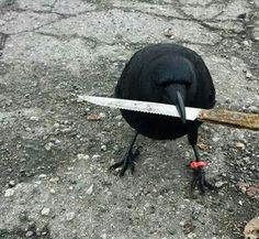 """It's not called a """"murder"""" of crows for nothing. - Funny Animal Memes and GIFs that are pure comedy gold. Reaction Pictures, Funny Pictures, Funny Pics, Funny Animals, Cute Animals, Jean Valjean, Naruto Y Boruto, Crows Ravens, Bizarre"""
