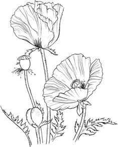 Poppies - Free Printable Coloring Pages Poppy Coloring Page, Flower Coloring Pages, Colouring Pages, Coloring Book, Poppy Craft, Plant Drawing, Free Printable Coloring Pages, Silk Painting, Colorful Flowers