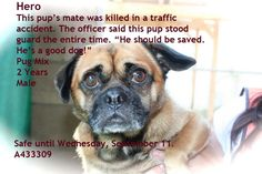 ID#A433309 This pug mix stood by his pal's side as he lay dead in the road. The officer said what a good dog this boy is. That he cried when his friend was lifted away. He is darling. He is beautiful and sweet as a button! He has until Wednesday. They put him in a kennel in the front so he has a better chance of being seen. He is a Hero!  San Bernardino City Animal Shelter, 333 Chandler Place, San Bernardino, CA.1 (909) 384-1304 Tuesday-Saturday 10:00AM to 5:00PMClosed Sunday/Monday
