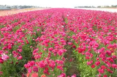 Carlsbad, CA Field of Flowers...Late March/April off Palomar Airport Rd.