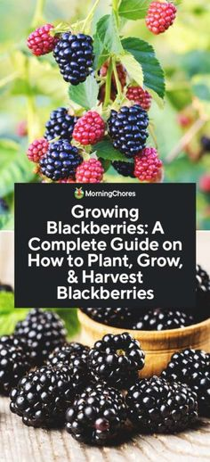 Growing Blackberries: A Complete Guide on How to Plant, Grow, & Harvest Blackberries If you love berries, then you know there's nothing better than eating them straight off the plant, and Growing blackberries is as simple as blackberry pie.