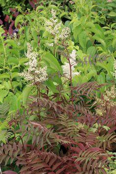 Sorbaria tomentosa,  hooggroeiende struik mooie pluimbloemen. De hoogte na 10 jaar is 3 m. De bloemkleur is wit. De bloeiperiode is mei. Deze sterke plant is zeer winterhard, mooie herfstkleur