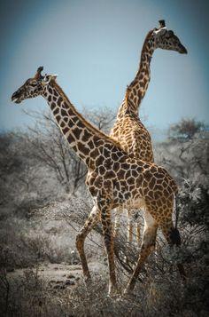 'Giraffes 1' von martin buschmann bei artflakes.com als Poster oder Kunstdruck $20.79