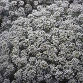 Steinkraut Snowcloth