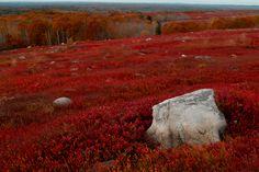 Maine blueberry barrens