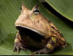 OMG, this toad is awesome.  This is a Amazon Horned Toad
