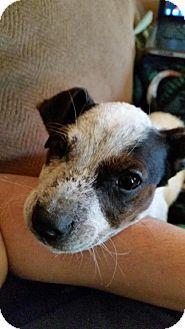 Conway, AR - Blue Heeler/Pointer Mix. Meet Beau, a puppy for adoption. http://www.adoptapet.com/pet/12340298-conway-arkansas-blue-heeler-mix
