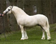 palomino - Welsh Mountain Pony (section A) stallion Ysselvliedts Golden Boy
