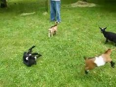 baby goat jumping over other baby goats.  Reminds me of home and my little pygmy goat Turbo
