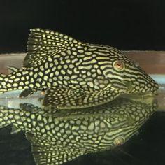 Plecostomus, New Tank, Catfish, Tropical Fish, Aquarium Fish, Animals, Ideas, Animales, Animaux