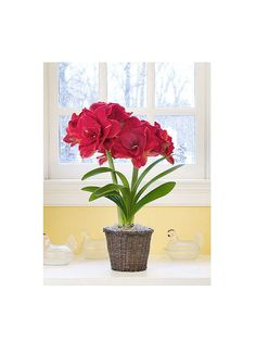 Amaryllis Get detailed growing information on this plant and hundreds more in BHG's Plant Encyclopedia.