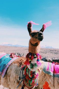 I took this photo at the highest elevation point on the way to Colca Canyon, Peru. Adorned with bright, beautiful Peruvian textiles, this llama stood at ft above sea level watching the tourists go by. Alpacas, Cute Creatures, Beautiful Creatures, Cute Baby Animals, Animals And Pets, Animals Photos, Animals Planet, Wild Animals, Farm Animals