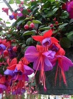 8 x FUCHSIA  DISPLAY  PLUG PLANTS FREE POSTAGE READY EARLY FEB