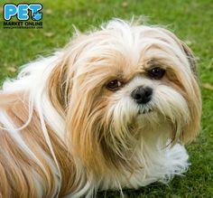 Sunday's Dog Show Winner is Shih Tzu! www.petmarketonline.com #dog #puppy #animals #shihtzu