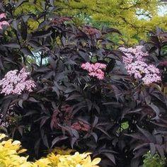 Buy Sambucus Black Beauty Shrubs Online. Garden Crossings Online Garden Center offers a large selection of Elderberry Plants. Shop our Online Shrub catalog today!
