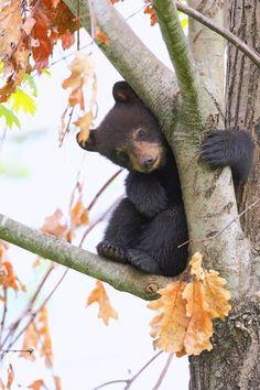 yavru siyah ayı
