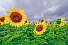 Enchanted Sunflowers by Laura George