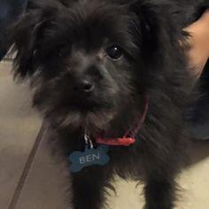 Lost Dog - Schnauzer Miniature - Kissimmee, FL, United States 34758
