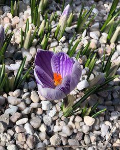 Springy winds  •  •  •  •  #spring #wind #clouds #springflowers #springcrocus #prague #praha #sapmetronom #czechrepublic #nofilter #mobilephotography Mobile Photography, Prague, Spring Flowers, Victoria, Clouds, Plants, Instagram, Plant, Planets