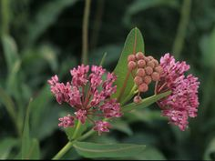 Asclepias sullivantii (Sullivant's or Prairie milkweed) only grows naturally on original prairies; therefore, it is a prairie indicator plant.  Named for William Sterling Sullivant who first collected it in Darby Plains west of Columbus, Ohio. - in Baldwin Woods and my side yard!