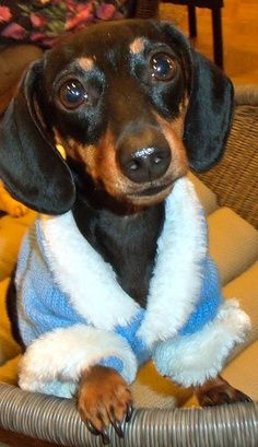 All About The Dachshund Puppies Grooming Dachshund Funny, Mini Dachshund, Dachshund Puppies, Weenie Dogs, Cute Puppies, Cute Dogs, Dogs And Puppies, Daschund, Doggies