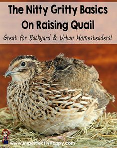 The Nitty Gritty Basics of Raising Quail. Great for backyard & urban homesteaders! |ImperfectlyHappy.com