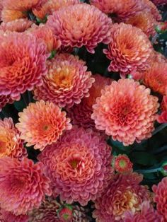 Love the color of these mums!